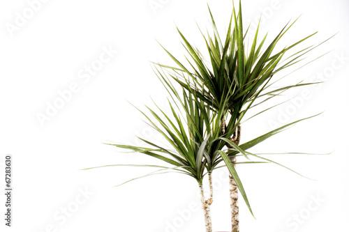 Poster Palm boom Drachenbaum