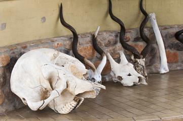 Tierschädel am Chobe Park, Botswana