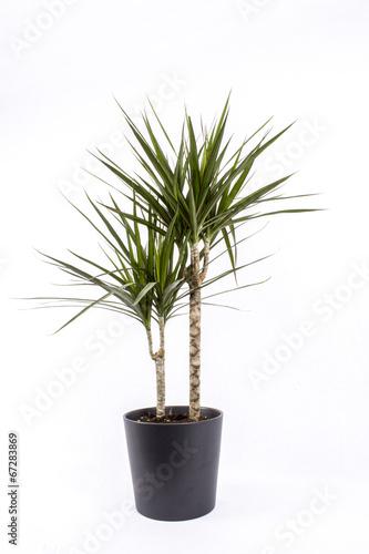 Plexiglas Palm boom Drachenbaum