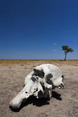 Elefantenschädel im Chobe Park, Botswana