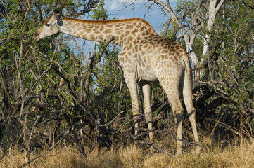 Giraffe, Chobe Park
