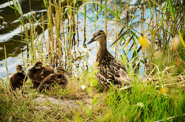 duck with ducklings in the reeds