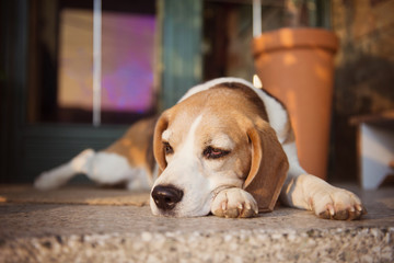 Beagle dog guarding