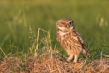 the astonishment of the little owl
