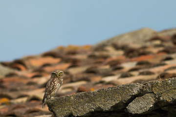 owl on the roofs