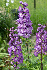 Purple Delphinium Flower in Garden