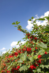 red currant grows