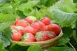 Strawberry in garden
