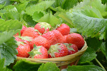 Strawberry in garden