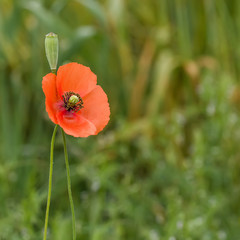 Wild poppy flower on the green background