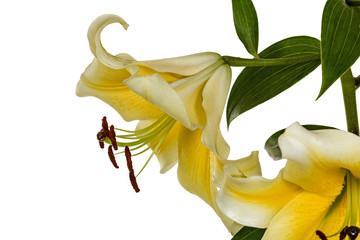 Flowers lily, lat. Lilium Oriental Hybrids, isolated on white ba