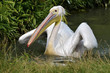 White pelican on the water