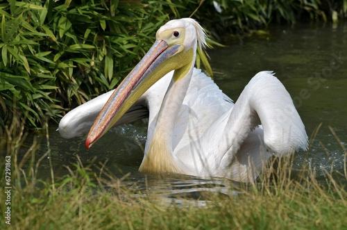 Fotobehang White pelican on the water