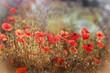 Red poppy flower - wild poppy flower