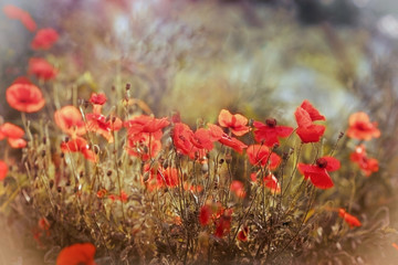 Red poppy flower - wild poppy flower