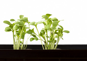 Plant seedlings growing in a plastic tub