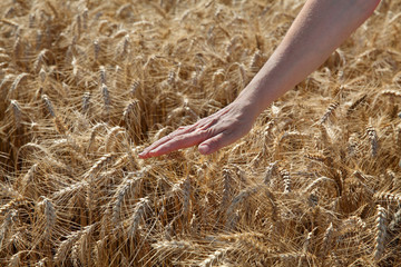 Agriculture, female worker hand touching wheat