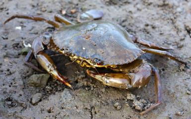 Closeup of a mud crab
