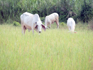 white cows in the pastures