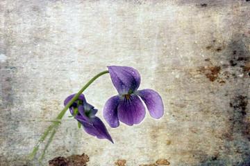 Flores lilas- Flowers lilacs