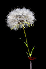 Big Dandelion in a Vase