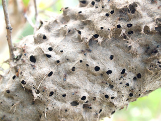 Ants nest in a tree