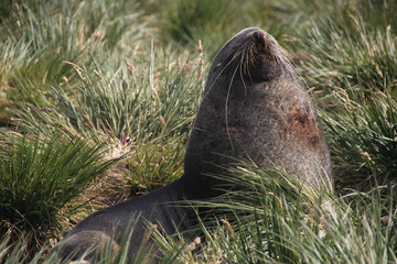 Antarctic fur seal, Fortuna Bay, South Georgia