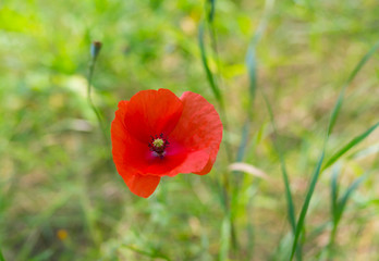 Lonely red poppy in wild herb at summer season