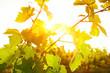 Photo of grape leaves background warm yellow sunbeam