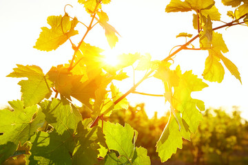 Photo of grape leaves background warm yellow sunbeam