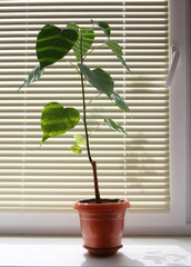 potted plant on the background of blinds