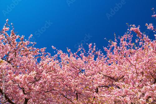 kawazu cherry trees in full bloom