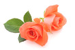 canvas print picture - Orange Roses