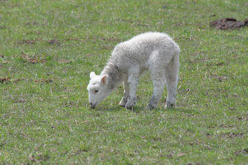 Sheep (Lamb)