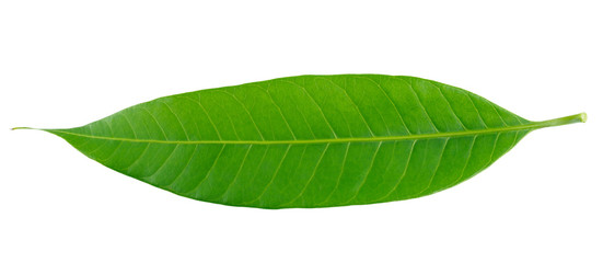 Green mango leaf isolated on white background