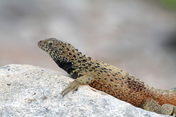 Galapagos Lava Lizard (Microlophus albemarlensis)