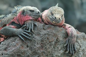 Galapagos Marine Iguanas resting on rocks