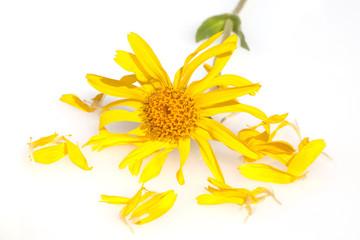 Arnika; Arnica montana; Gebirgspflanze;