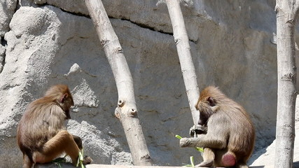two baboons eating food