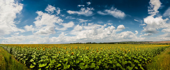 Panoramic Field of sunflowers. Landscape with village in the dis