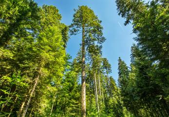 les grands sapins de la Forêt de la Joux