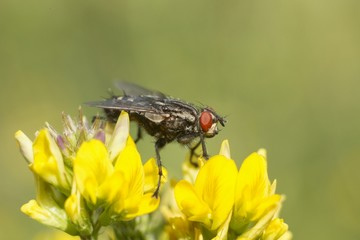 Big black fly with red eyes