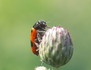 red beetle on the flower