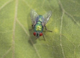 Big green fly on the leaf