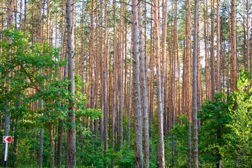Lush pine forest in the middle summer.