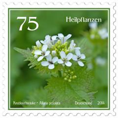 Knoblauchsrauke - Alliaria petiolata