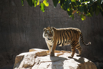 Portrait of a tiger alert on the rock