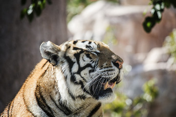 Portrait of a tiger alert with the mouth open