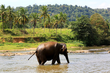 Elephant in river.