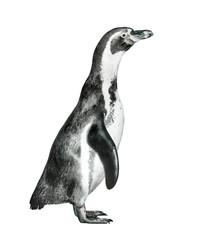 The Humboldt Penguin (Spheniscus humboldti).